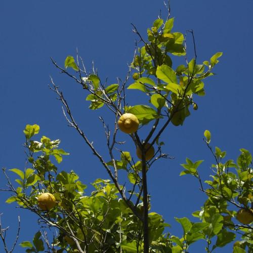 limoni agriturismo tropea